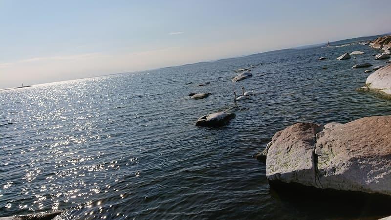 Svanar utanför Skagsudde