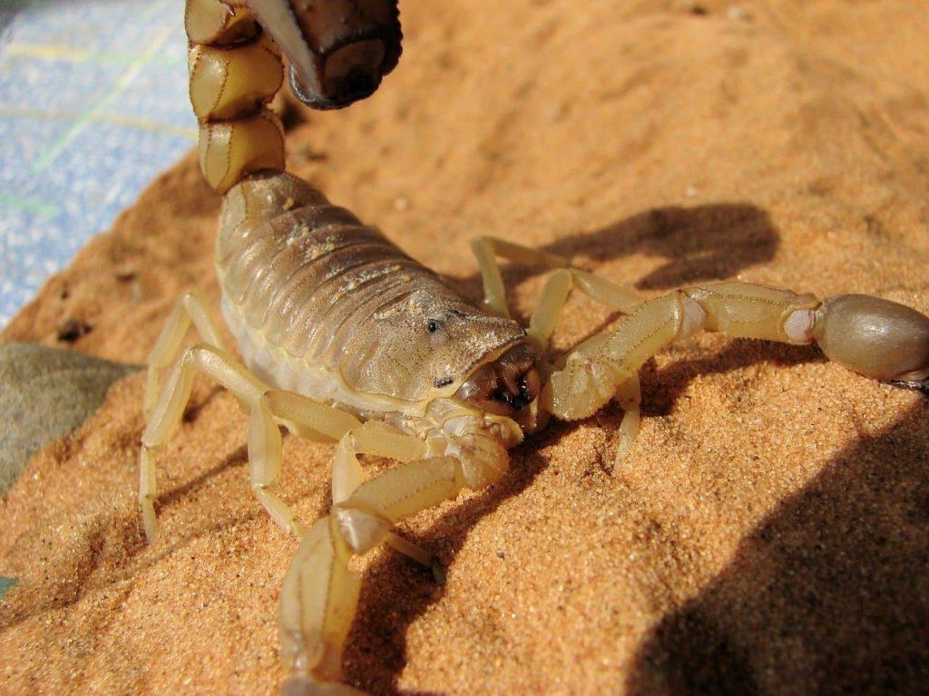Brun Skorpion